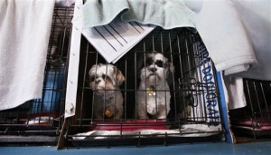 Dogs rescued from a puppy mill await transport. (AP Photo/Elaine Thompson)